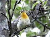 Blackburnian Warbler - Setophaga fusca (female)