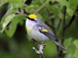 Warblers - genus Vermivora