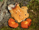 Polyporus alveolaris - (Hexagonal-pored polypore)