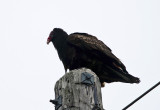 Vultures, Caracaras and Harriers