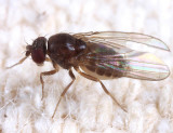Drosophila affinis species group