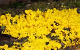 Fuligo septica (slime mold)