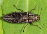 Spectralia gracilipes