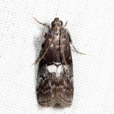 5773 - Engel's Salebriaria Moth - Salebriaria engeli