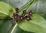 Black Swallow-wort - Cynanchum louiseae