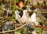 Peltigera membranacea (dog lichen)