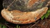 Daedalea quercina (Thick-maze Polypore)
