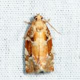 3653 - Oak Leafroller Moth - Archips semiferana