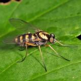 Ornate Snipe Fly - Chrysopilus ornatus