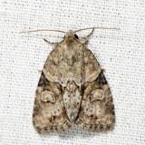 9408 - Exhausted Brocade - Neoligia exhausta