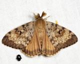 8318 - Gypsy Moth - Lymantria dispar