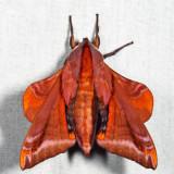 7826 - Huckleberry Sphinx - Paonias astylus