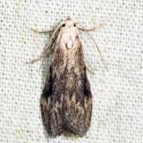 5630 – Terrenella Bee Moth – Aphomia terrenella