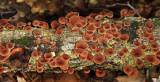 Gymnopus foetidus