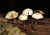 Marasmius rotula
