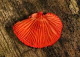 Crepidotus cinnabarinus