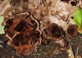 Coltricia cinnamonea