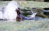 North American Beaver - Castor canadensis (tail slap & dive)