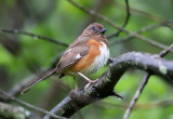 Eastern Towhee - Pipilo erythrophthalmus  (female with eye problems)