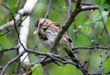 Song Sparrow - Melospiza melodia (eating a moth)
