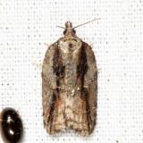 3550 - Acleris youngana