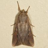 10438 - The White-speck - Mythimna unipuncta