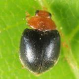 Scymnus cervicalis