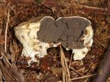 Scleroderma areolatum