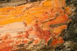 Haplopilus salmonicolor