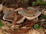 Hydnellum spongiosipes