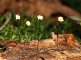 Marasmius capillaris (Oak Leaf Marasmius)