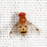 Vinegar Flies - Drosophilidae
