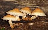 Leucopholiota decorosa