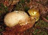 Boletus parasiticus