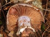 Cortinarius obliquus