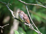 Chipping Sparrow - Spizella passerina (immature)