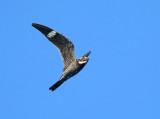 Common Nighthawk - Chordeiles minor