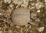 Blanding's Turtle - Emydoidea blandingii (newly hatched)