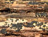 Rosellinia subiculata