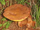 Aureoboletus innixus (Clustered Brown Bolete)