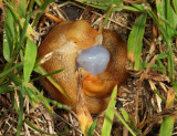 mating slugs