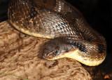 Eastern Hognose Snake - Heterodon platirhinos