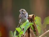 Savannah Sparrow - Passerculus sandwichensis