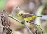 Palm Warbler - Setophaga palmarum