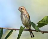 Yellow-rumped Warbler - Setophaga coronata