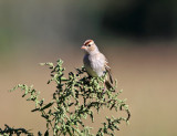 White-crowned Sparrow - Zonotrichia leucophrys (immature)