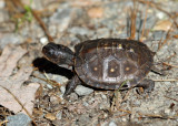 baby Eastern Box Turtle - Terrapene carolina