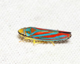 Red-banded Leafhopper - Graphocephala coccinea