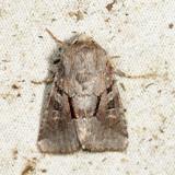 9416 - Small Brocade -  Oligia minuscula