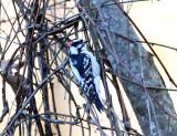 Downy Woodpecker - Picoides pubescens